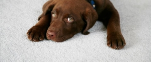 harris_carpet_slideshow01_pet_dog_cat